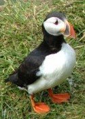 is-puffin.jpg